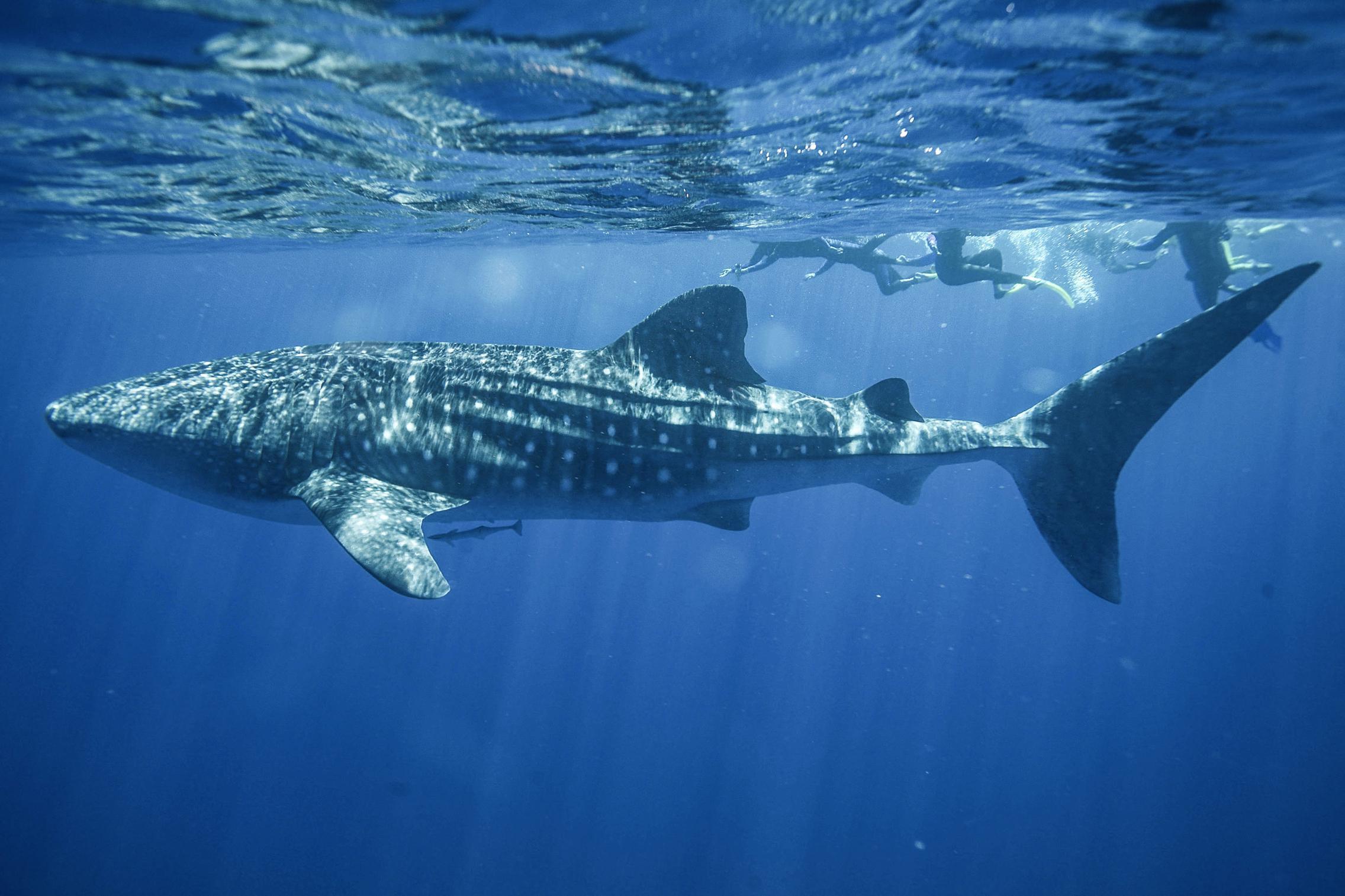Swimming with whale sharks at Ningaloo Reef WA | Bee+Hive | Photo by Sal Salis