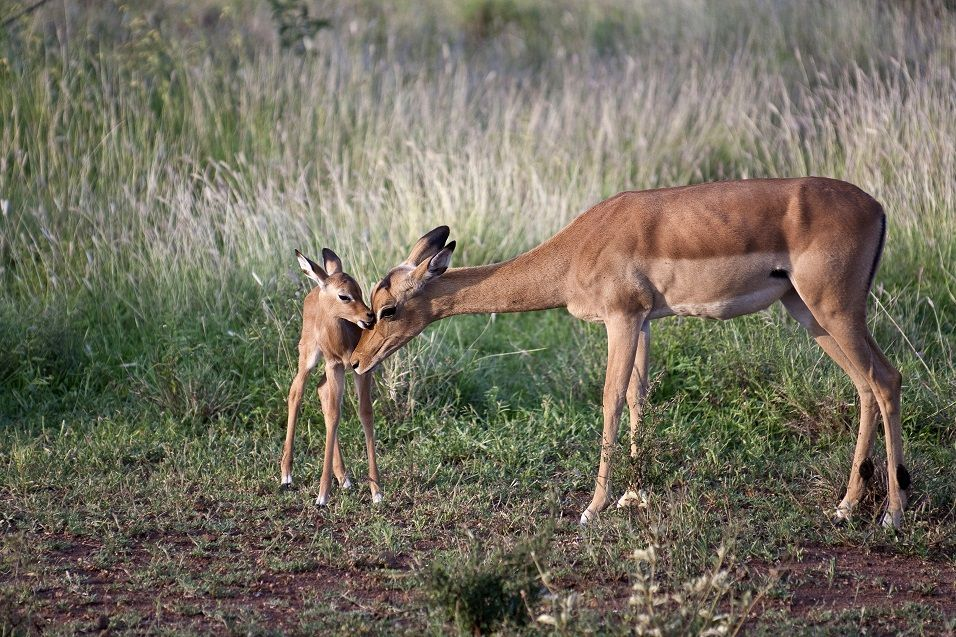 Buck Mother and Youth, Jenman Safaris